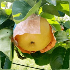 長野県産の梨「南水(なんすい)」とは?
